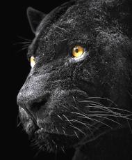 une panthère noire